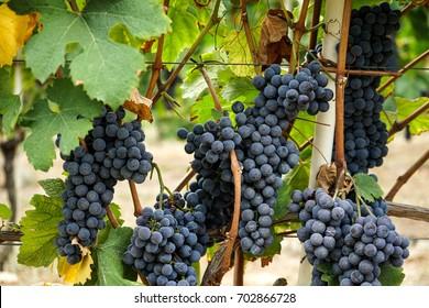 Vineyards in Barolo, Piedmont - Italy