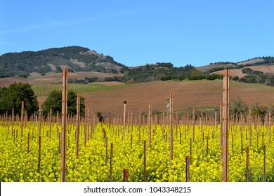 Vineyards before bloom in Sonoma County CA