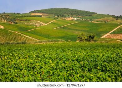 Vineyards behind the Quinta Avessada vintners in Pinhau who produce muscatel wines.