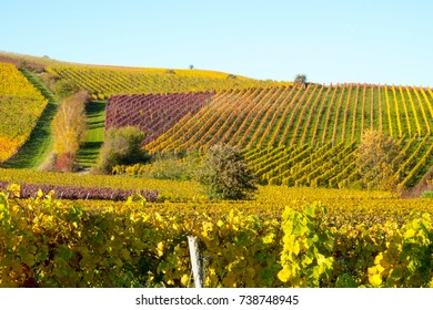 Vineyards in Bodenheim, Rhenish Hesse, Germany, during fall time.