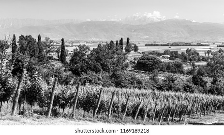 The vineyards of Buttrio in a summer day. Collio Friulano, Udine Province, Friuli Venezia-Giulia, Italy