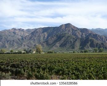 Vineyards in Cafayate, Argentina.  Tannat and Malbec grapes.