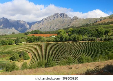 Vineyards in the cape town peninsula south africa