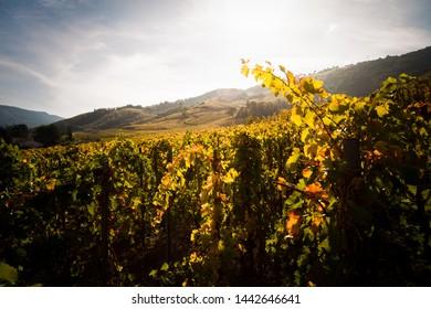 vineyards in cornas northern rhone