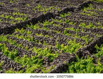 Vineyards of Criacao Velha, UNESCO World Heritage Site, Pico Island, Azores, Portugal