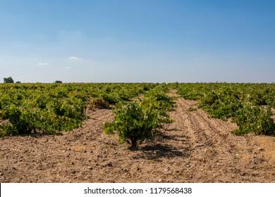 Vineyards Designation of origin Toro  in Zamora (Castilla y Leon, Spain)