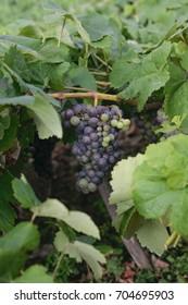 Vineyards in el Sauzal in Santa Cruz de Tenerife-Islas Canarias Spain