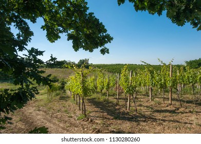 vineyards in full summer