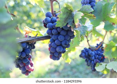 Vineyards in Germany. Bunches of red wine grapes