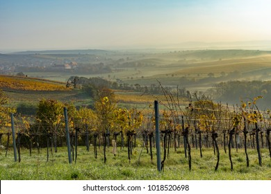 Vineyards in golden summer