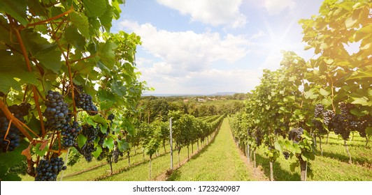Vineyards with grapevine for wine production near a winery along styrian wine road, Austria Europe - Shutterstock ID 1723240987