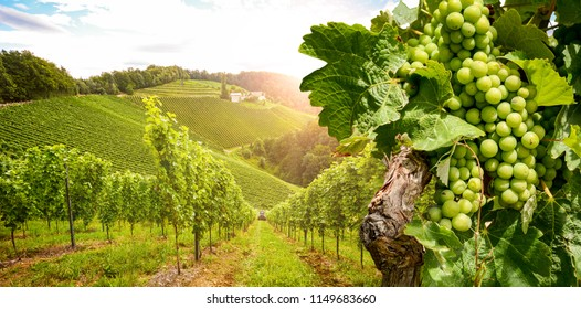 Image result for photos of vineyards and grapevines