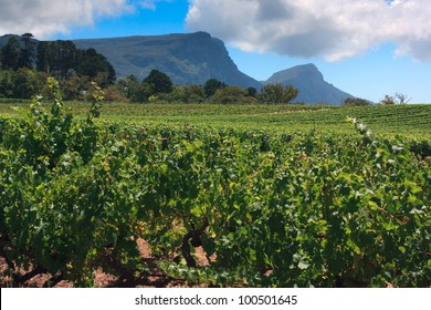 Vineyards of Groot Constantia, Western Cape, South Africa. Table Mountain and Devil's Peak in the background.