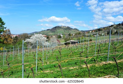 Vineyards of Heppenheim with flowering Cherry-Trees in Springtime in the Vineyards of, Kreis Bergstrasse, Hesse, Germany