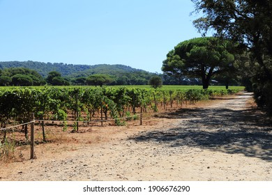 The vineyards of the island of Porquerolles