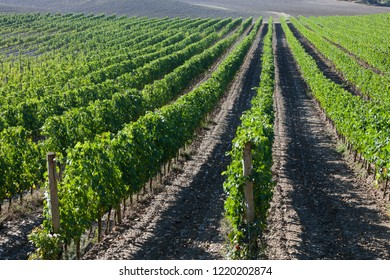 Vineyards in Italy, Agriculture