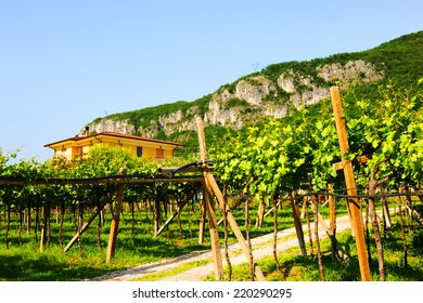 Vineyards in Italy, landscape, nature