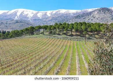 Vineyards in Kefrayya, Lebanon
