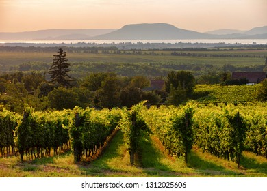 Vineyards with the Lake Balaton and the The Badacsony mountain  at sunset in Hungary