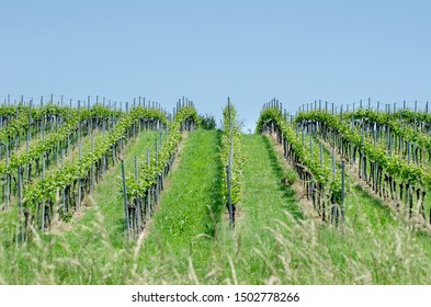 The vineyards at Lake Constance or Bodensee in Baden-Wuerttemberg, Germany.