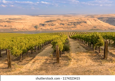 Vineyards landscape in the Columbia River Gorge Washington state.