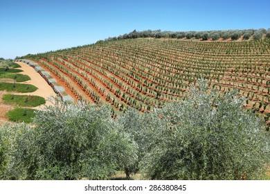 Vineyards landscape in Delaire Graff estate, South Africa