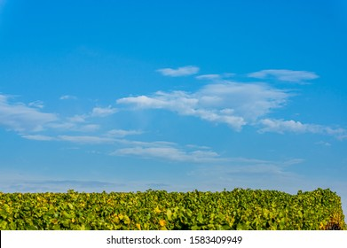Vineyards and landscape in Lower Franconia in autumn with colorful leaves in typical autumn colors after the vintage in sunshine, blue sky, small white veil clouds near the town Volkach
