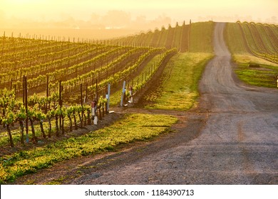 Vineyards landscape at sunrise in California, USA