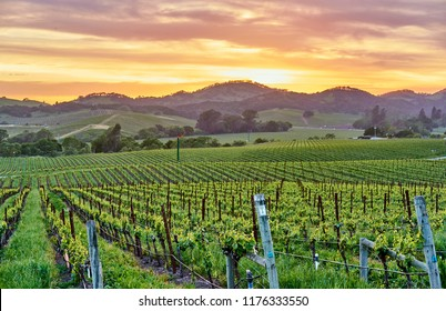 Vineyards landscape at sunset in California, USA - Shutterstock ID 1176333550