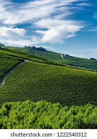 Vineyards in the Langhe near Barolo and Alba, Cuneo, Piedmont, Italy, at summer