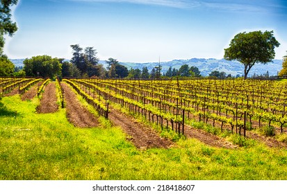 Vineyards line the rolling hills of California's Wine Country. Sonoma County, California.