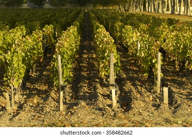 Vineyards of Margaux, Bordeaux