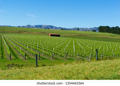 Vineyards in Marlborough long rows of springtime growth across flat fields running to foothills in distance