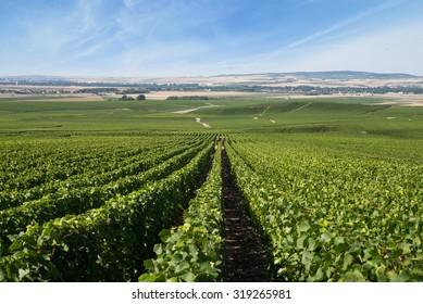 vineyards of Montagne de Reims