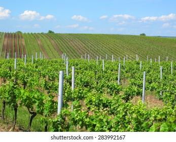 Vineyards in Moravia. Beautiful outdoor rural scenery.