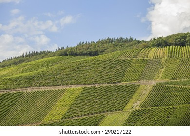 Vineyards in the Mosel area in Germany, planted with Riesling grapes