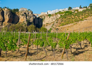 Vineyards  near Ronda town  in Andalucia, Spain.