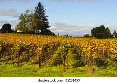 Vineyards near Sebastopol, California.