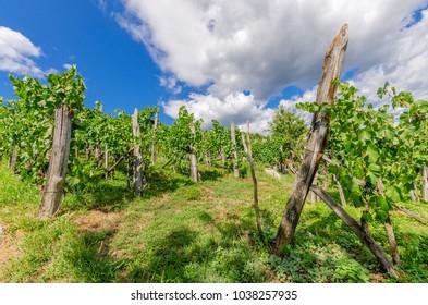 Vineyards nearby Crnomelj in Bela Krajina (White Carniola) region in Slovenia, Europe. - Shutterstock ID 1038257935