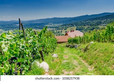 Vineyards nearby Crnomelj in Bela Krajina (White Carniola) region, Slovenia, Europe. - Shutterstock ID 1038257938