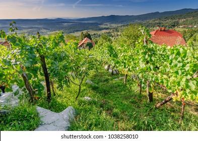 Vineyards nearby Crnomelj in Bela Krajina (White Carniola) region, Slovenia, Europe. - Shutterstock ID 1038258010