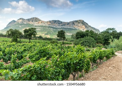 Vineyards in the North of Corsica