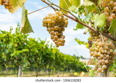 Vineyards on the field. Grapes with vine and leaves in sunny weather.