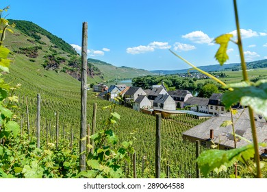 Vineyards on the hills in the moselle valley  along the river