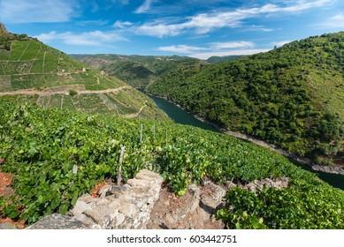 vineyards on mountains at river Sil in region Ribeira Sacra, Galicia, Spain.