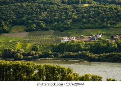 Vineyards on the Rhine, Rhineland-Palatinate, Germany, Europe