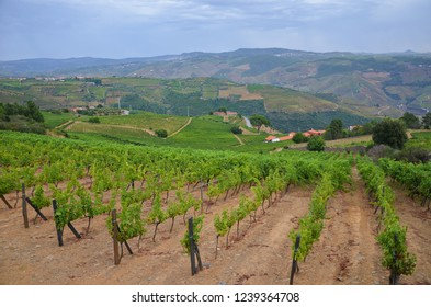 Vineyards on schist soil in the hills of Douro Valley, Portugal. The vineyards with specific terroir located along the Douro river are used for port wine production. Photo: Sep 3rd 2018