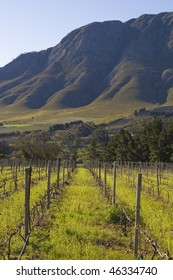 Vineyards on the slopes of the mountain; Hermanus, South Africa