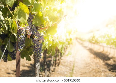Vineyards on sunset. Yellow red sun rays. Backlight sun