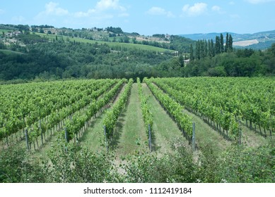 The vineyards on the Tuscan hills